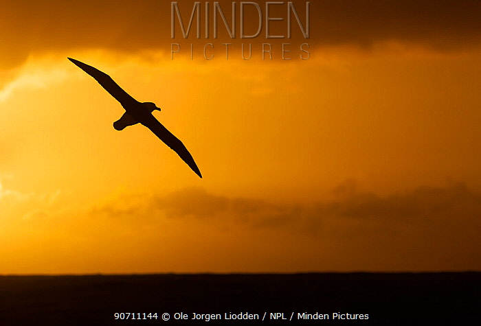 Campbell albatross (Thalassarche impavida) in flight, silhouetted at sunset, near Campbell Islands, Sub-Antarctic New Zealand. February.