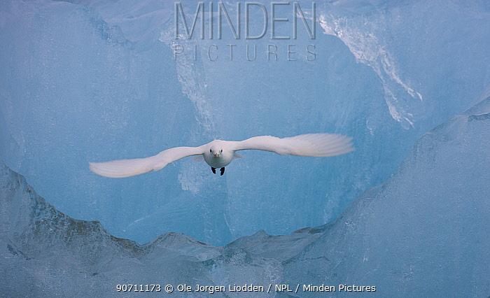 Ivory gull (Pagophila eburnea) in flight in front of blue ice, Spitsbergen, Svalbard, Norway. July.