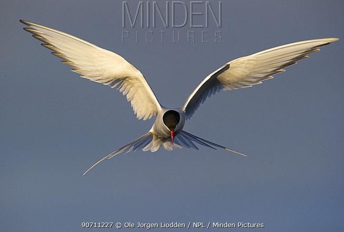 Arctic tern (Sterna paradisaea) hovering in flight, Svalbard, Norway, July.