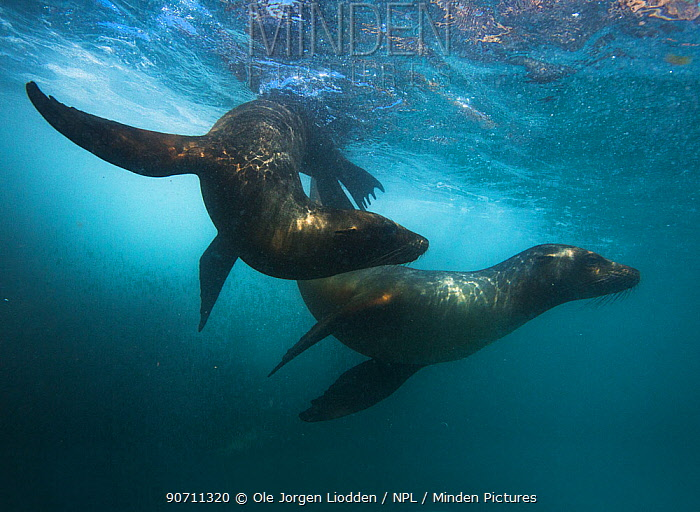 Galapagos sea lion (Zaphalophus wollebaeki) two swimming underwater, Galapagos. Endemic.