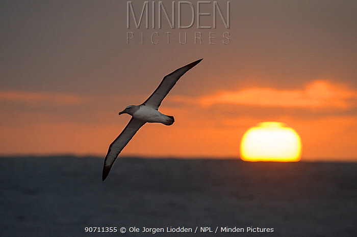 Buller's albatross (Thalassarche bulleri) in flight over the sea at sunset, Bounty Island, Sub-Antarctic New Zealand, March.