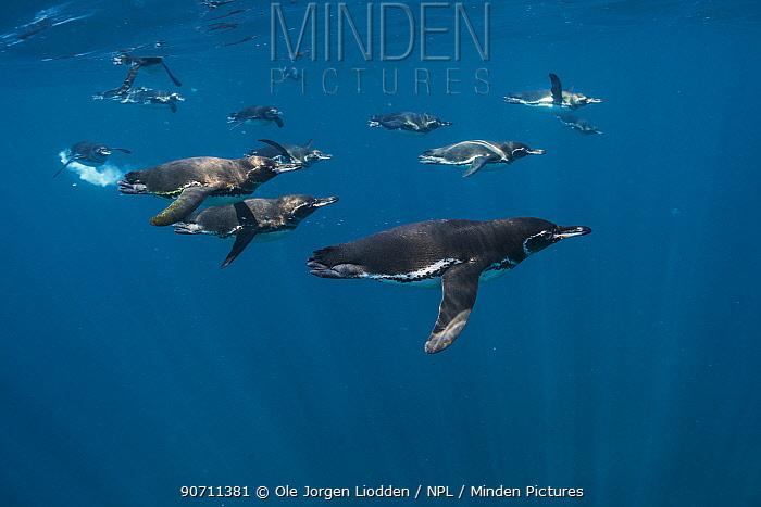 Galapagos penguin (Spheniscus mendiculus) group underwater, Galapagos. Endemic.