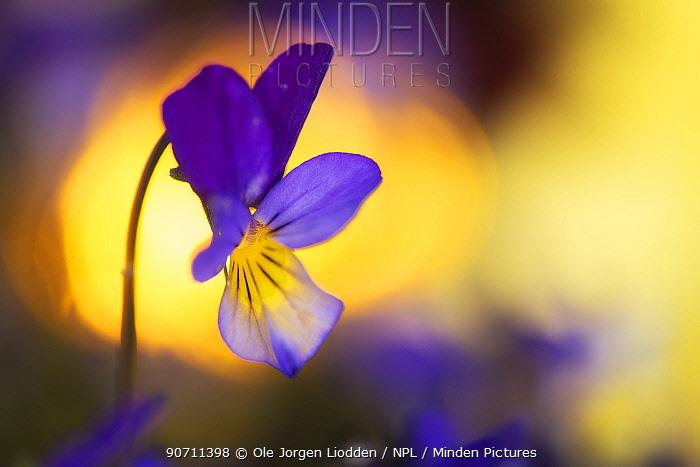 Heartsease / Wild pansy (Viola tricolor) flower, Norway, May.