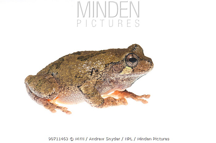 Grey tree frog (Hyla chrysoscelis) Tishomingo State Park, Mississippi, USA, April. Meetyourneighbours.net project