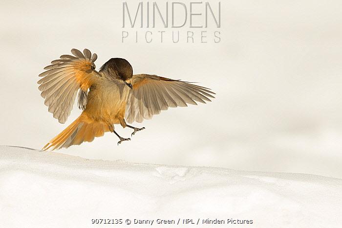 Siberian jay (Perisoreus infaustus) landing in snow, Finland, March