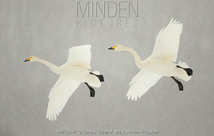 Whooper swans (Cygnus cygnus) two in flight, during snowfall, Lake Kussharo, Japan, February
