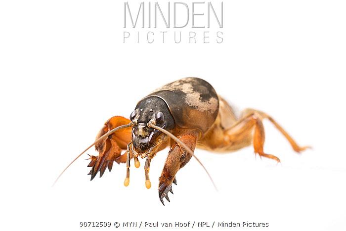 Mole cricket (Gryllotalpa gryllotalpa) male, The Netherlands, April. Meetyourneighbours.net project