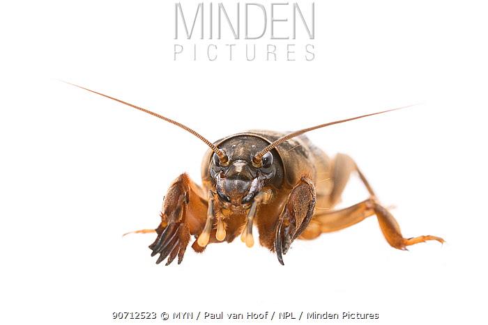 Mole cricket (Gryllotalpa gryllotalpa) female, Heemstede, The Netherlands, June. Meetyourneighbours.net project