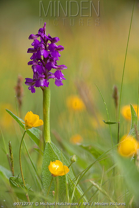 Green-winged orchid (Anacamptis morio) in flower amongst Meadow buttercups (Ranunculus acris) in grass meadow, Ashton Court, Bristol, North Somerset, UK, May..