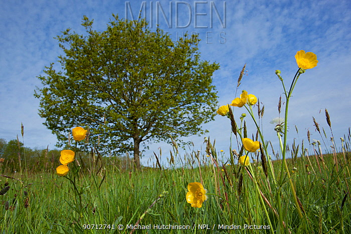Meadow buttercups (Ranunculus acris) in grass meadow, Ashton Court, Bristol, North Somerset, UK, May.