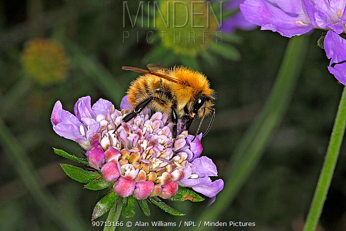 Common carder bumblebee (Bombus pascuorum) queen feeding on Scabious (Scabiosa) flower in garden Cheshire, England, UK. September.