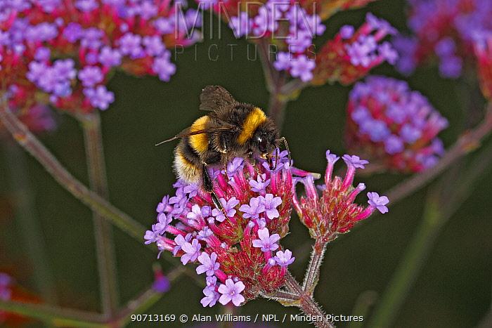 Buff-tailed bumblebee (Bombus terrestris) queen feeding on Verbena bonariensis in garden Cheshire, England, UK. August.