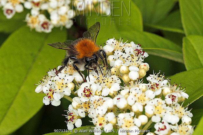 Tree Bumble Bee (Bombus hypnorum) feeding on Tree Bumblebee (Bombus hypnorum) feeding on Cotoneaster flower in garden Cheshire, England, UK. June.