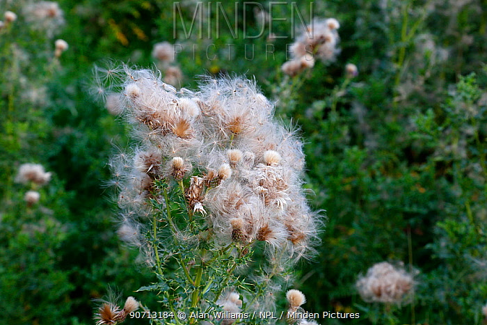 Creeping thistle (Cirsium arvense) seed heads shedding seed growing in field, Cheshire, England, UK. August.