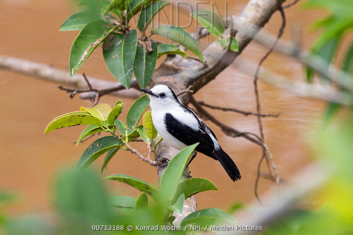 Black-backed water-tyrant (Fluvicola albiventer) Pucallpa, Huanuco province, Amazon basin, Peru.