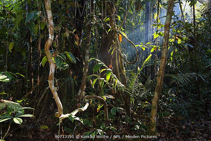 Lowland rainforest with sun beams shining through, Panguana Reserve, Huanuca province, Amazon basin, Peru.