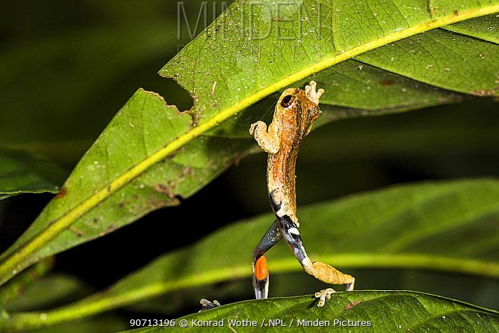 Sarayacu treefrog (Dendropsophus parviceps) in lowland rainforest, Panguana Reserve, Huanuca province, Amazon basin, Peru.