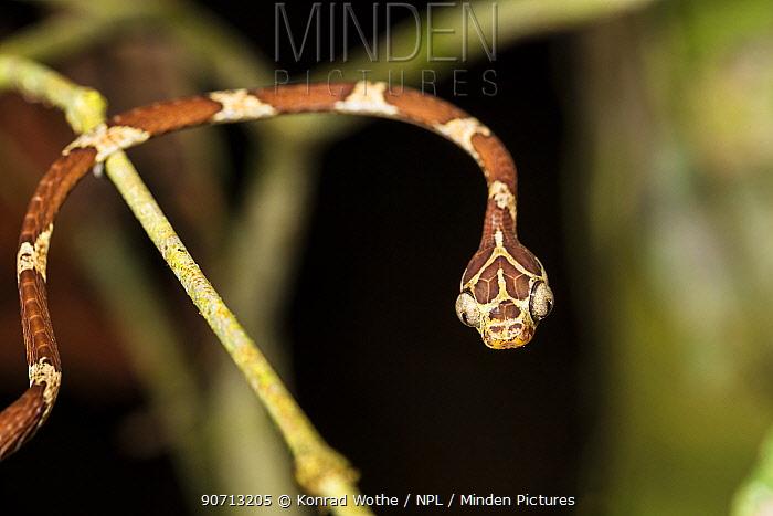 Snake (Imantodes cenchoas) moving over branches, Panguana Reserve, Huanuco province, Amazon basin, Peru.