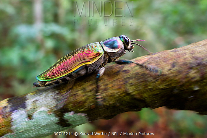 Metallic wood boring beetle (Euchroma gigantea) in rainforest, Panguana Reserve, Huanuco province, Amazon basin, Peru.