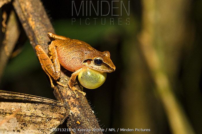 Frog (Pristimantis peruvianus) calling, Panguana Reserve, Huanuco province, Amazon basin, Peru.