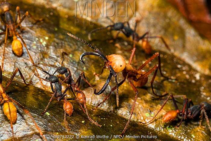 Army ant (Eciton burcellii) soldier surrounded by workers, Panguana Reserve, Huanuco province, Amazon basin, Peru.