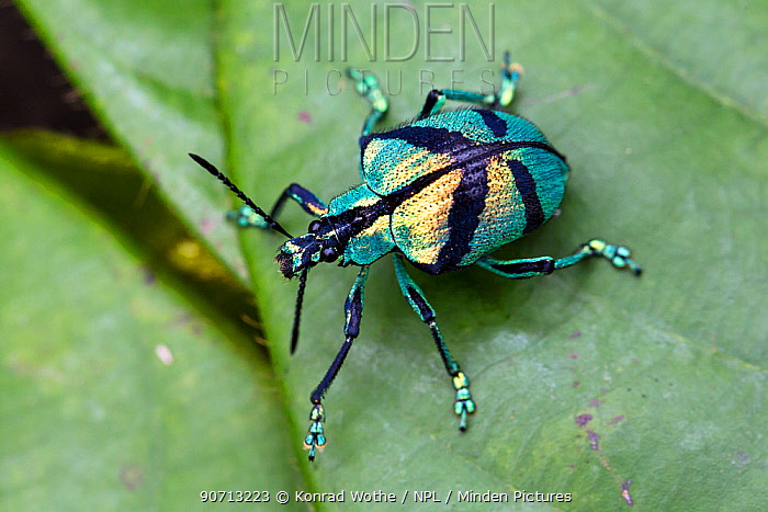 Weevil (Polyteles sp) with blue colouration, Panguana Reserve, Huanuco province, Amazon basin, Peru.