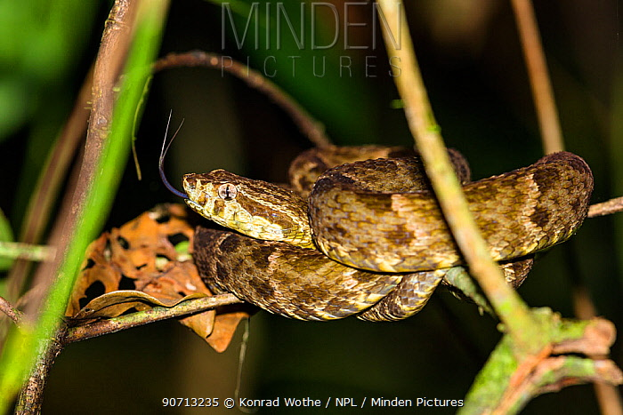 Common lancehead (Bothrops atrox) at night, Panguana Reserve, Huanuca province, Amazon basin, Peru.
