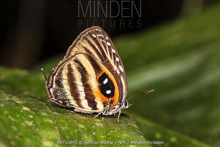 Spotted hairstreak butterfly (Enos maculata) Panguana Reserve, Huanuca province, Amazon basin, Peru.