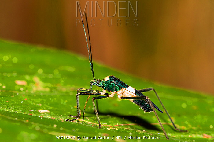Bug (Nematopus sp) rainforest, Panguana Reserve, Huanuco province, Amazon basin, Peru.