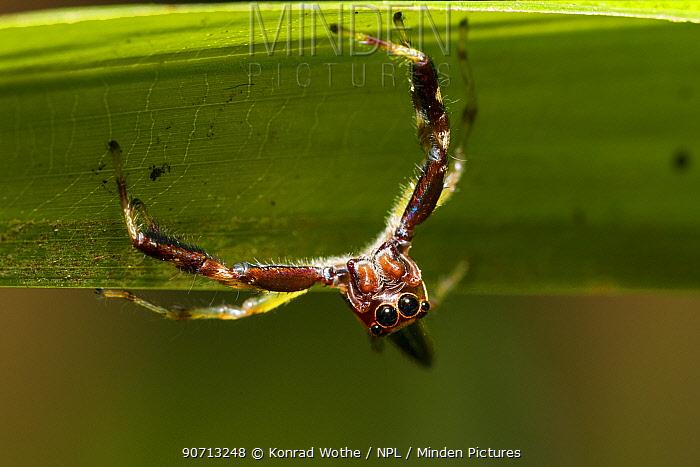 Jumping spider (Salticidae) Panguana Reserve, Huanuco province, Amazon basin, Peru.
