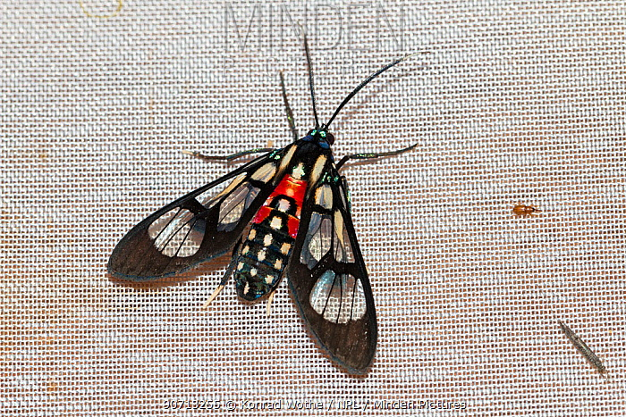 Moth (Cosmosoma regia) in moth trap, Panguana Reserve, Huanuco province, Amazon basin, Peru.