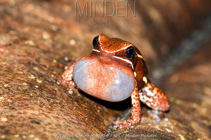 Brilliant thighed poison frog (Allobates femoralis) calling, with vocal pouch inflated. Panguana Reserve, Huanuco province, Amazon basin, Peru.