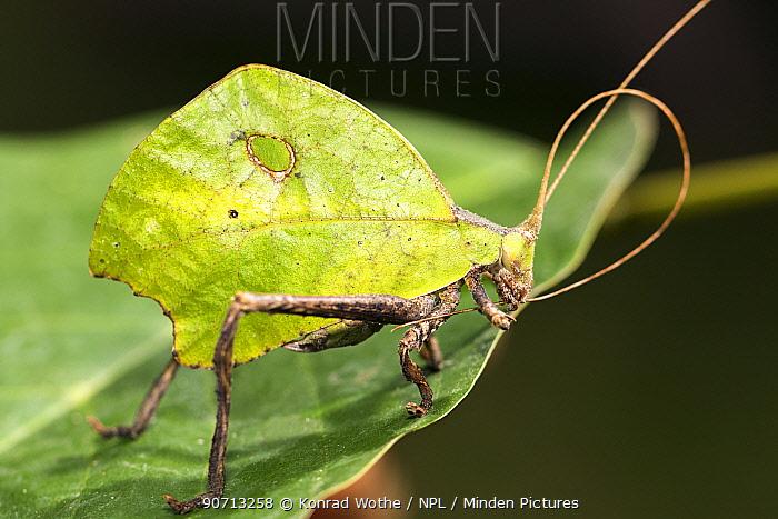 Leaf mimic katydid (Tettigoniidae) grooming antennae, Panguana Reserve, Huanuca province, Amazon basin, Peru.