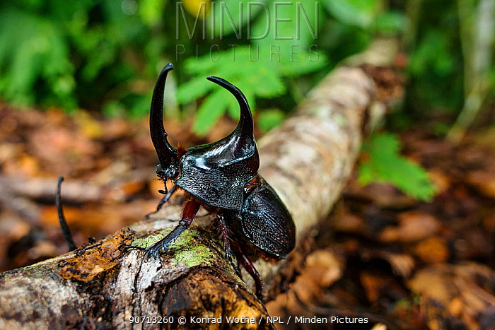 Rhinoceros beetle (Dynastinae) in rainforest, Panguana Reserve, Huanuco province, Amazon basin, Peru.