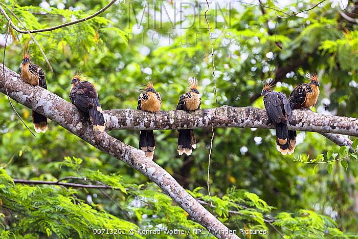 Hoatzins (Opisthocomus hoazin) group perched on branch, rainforest, Panguana Reserve, Peru.