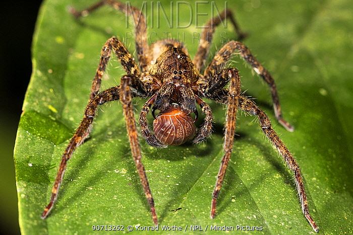 Fishing spider (Ancylometes sp) with prey, Panguana Reserve, Huanuco province, Amazon basin, Peru.