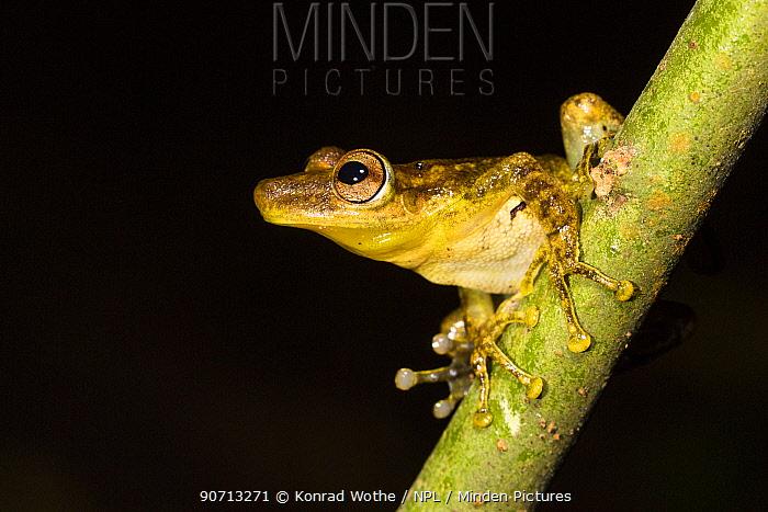 Frog (Scinax sp)  Panguana Reserve, Huanuco province, Amazon basin, Peru.