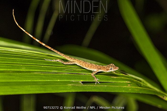 Lizard (Norops fuscoauratus) Panguana Reserve, Huanuco province, Amazon basin, Peru.
