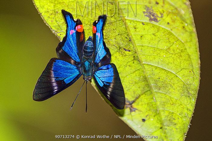 Butterfly (Rhetus periander) Panguana Reserve, Huanuca province, Amazon basin, Peru.