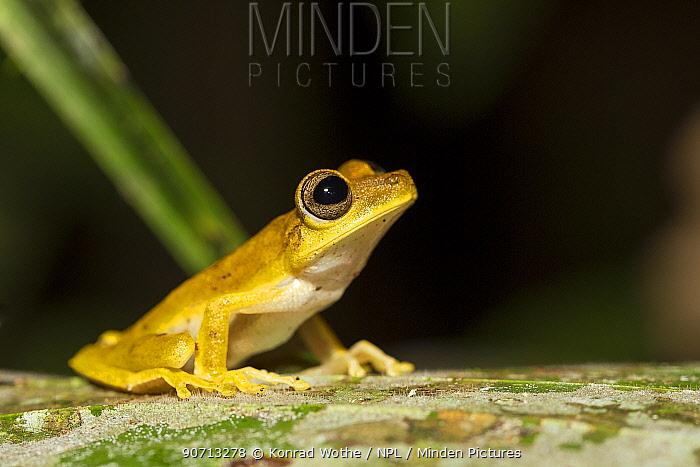 Gunther's banded tree frog (Hypsiboas fasciatus) Panguana Reserve, Huanuco province, Amazon basin, Peru.