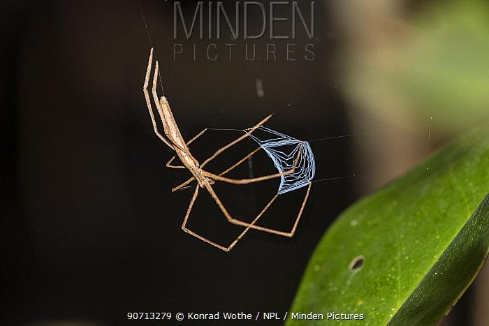 Ogre faced spider (Deinopis) with large ant prey, Panguana Reserve, Amazon basin, Peru.