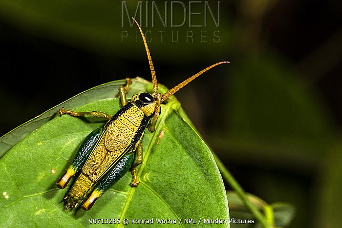 Cricket  (Romaleidae) on leaf cleaning its antenna, Panguana Reserve, Huanuca province, Amazon basin, Peru.