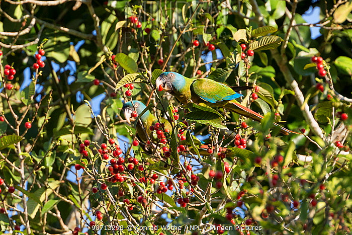 Blue-headed macaws feeding (Propyrrhura couloni)  on berries, Panguana Reserve, Huanuca province, Amazon basin, Peru.