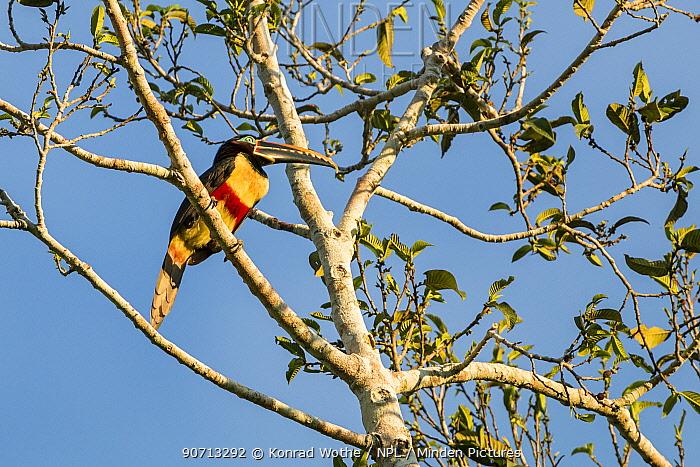 Chestnut-eared aracari (Pteroglossus castanotis)  Panguana Reserve, Huanuco province, Amazon basin, Peru.