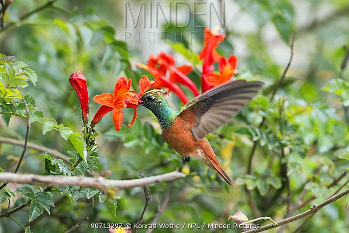Amazilia hummingbird (Amazilia amazilia) feeding on flower, Peru.