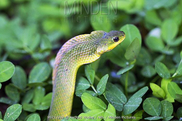Blind ground snake (Erythrolamprus typhlus), Panguana Reserve, Huanuco province, Amazon basin, Peru.