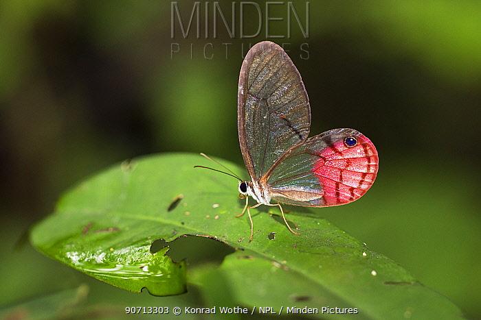 Transparent Phantom butterfly (Cithaerias pireta) Panguana Reserve, Huanuca province, Amazon basin, Peru.