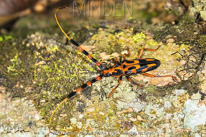 Long horn beetle (Batus barbicornis) on tree trunk in rainforest, Panguana Reserve, Huanuco province, Amazon basin, Peru.