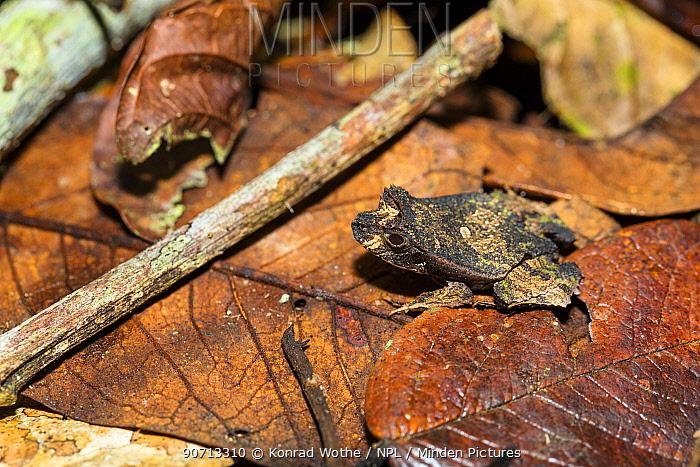 Perez's snouted frog (Edalorhina perezi) in leaf litter, Panguana Reserve, Huanuco province, Amazon basin, Peru.