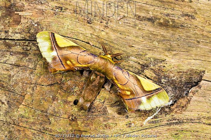 Moth (Epia muscosa) Panguana Reserve, Huanuca province, Amazon basin, Peru.